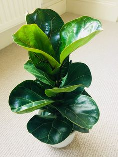 Fiddle leaf Ficus.