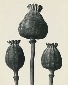 View Papaver orientalis - Mohnkapseln by Karl Blossfeldt on artnet. Browse upcoming and past auction lots by Karl Blossfeldt. Karl Blossfeldt, Botanical Illustration, Botanical Art, History Of Photography, Art Photography, Craft Museum, A Level Art, Natural Forms, Natural Form Artists