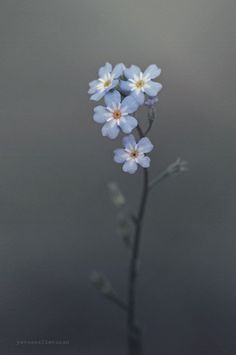 forget me not flowers Small Flowers, My Flower, Blue Flowers, Wild Flowers, Beautiful Flowers, Forget Me Nots Flowers, Forget Me Not Tattoo, Flower Finger Tattoos, Flower Aesthetic