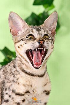 crying Savannah Cat by Kirikina on DeviantArt Le Savannah, Savannah Kitten, Super Cute Animals, Cute Funny Animals, Funny Cats, Cute Animal Pictures, Beautiful Cats, Cat Breeds, Cool Cats