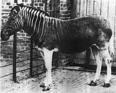 Only one quagga was ever photographed alive and only 23 skins are preserved today.The quagga was the first extinct animal to have its DNA analysed,and this 1984 study launched the field of ancient DNA analysis. It confirmed that the quagga was more closely related to zebras than to horses.