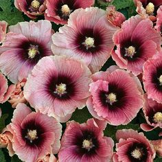 HALO APRICOT Hollyhock Seeds Light apricot single flowers first blush deep pink, finish in wine red. Plants grow to 6 ft. tall.