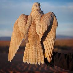 This bird is gorgeous! @ibrahim.almaadeed
