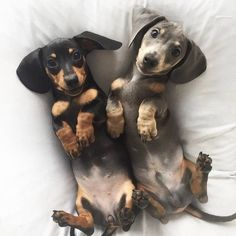 """Fantastic """"dachshund puppies"""" detail is offered on our internet site. Take a look and you wont be sorry you did. Dachshund Breed, Dachshund Funny, Dachshund Love, Daschund, Dapple Dachshund, Dachshund Clothes, Dachshund Gifts, Cute Puppies, Cute Dogs"""