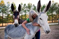Mule is cross between female horse-male donkey (or Jack) male=john/ female=molly female donkey /jennet can breed with male horse to create hinny..Mules 99.9% sterile. horse 64-donkey62- mule-63 number of chromosomes each.