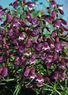 Top 10 Drought Tolerant Plants: Penstemon features arching stems laden with spires of small tubular flowers that attract moths, butterflies and hummingbirds.Zones 3 to 9.  18 to 36 inches high, 12 to 24 inches wide.  Full sun to light shade. Sow seed outdoors from late winter through early summer. Plant nursery-raised seedlings in late spring and water well until established