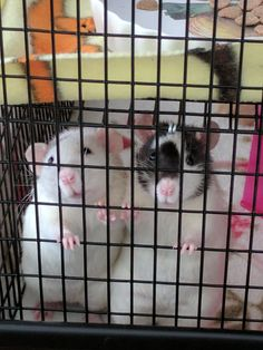 sometimes I can't handle how cute my girls are. #aww #cute #rat #cuterats #ratsofpinterest #cuddle #fluffy #animals #pets #bestfriend #ittssofluffy #boopthesnoot