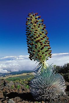 Hawaii, Maui, Silversword (ahinahina) in Haleakala National Park