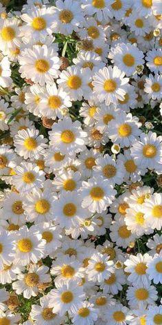 Flor Iphone Wallpaper, Look Wallpaper, Daisy Wallpaper, Wallpaper Nature Flowers, Aesthetic Pastel Wallpaper, Aesthetic Backgrounds, Aesthetic Wallpapers, Daisy Background, Flower Background Wallpaper