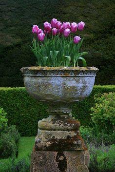 Tulips in a concrete urn planter.. Love
