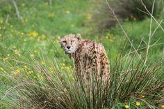 Cheetah @ Dartmoor Zoo