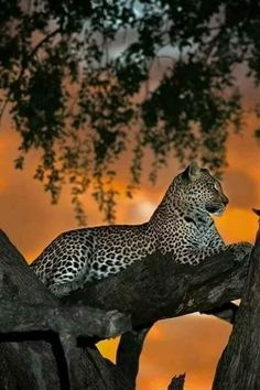 Image IMG 6726 in Wild cats album Big Cats, Cats And Kittens, Cute Cats, Nature Animals, Animals And Pets, Cute Animals, Beautiful Cats, Animals Beautiful, Beautiful Sunset