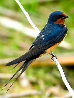 Common Swallow or Barn Swallow (Hirundo rustica) - breeds across the northern hemisphere, wintering in the southern hemisphere, as far south as central Argentina, Cape Province of South Africa, and northern Australia. Pretty Birds, Love Birds, Beautiful Birds, Animals Beautiful, Small Birds, Little Birds, Colorful Birds, Barn Swallow, Swallow Bird
