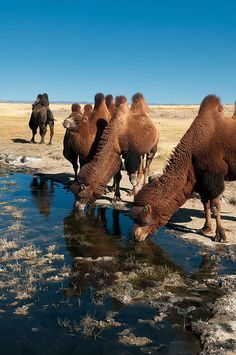 twin humped Bactrian camels in the Gobi Desert of Mongolia Travel Honeymoon Backpack Backpacking Vacation Mongolia, Alpacas, Camelo Bactriano, Bactrian Camel, Deserts Of The World, Gobi Desert, Desert Life, Mundo Animal, All Gods Creatures