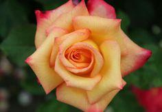 Rose so beautiful
