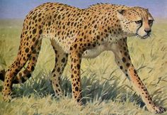 Asiatic Cheetah (Acinonyx jubatus venaticus) - [illustration] - These Critically Endangered cats are extirpated from most of their former range. They currently maintain a toehold only in Iran.