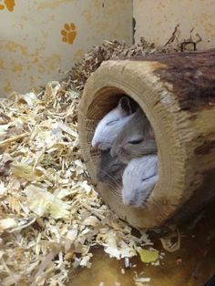 Gerbils in a log