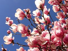 Pink Magnolias.That's the one thing I miss about my old house was that beautiful tree:(