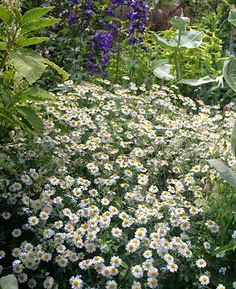 """Tanacetum niveum """"White Bouquet Tansy"""" Drought-tolerant, not fussy about soil. Cut back to after bloom for a second show. Self sows. House Landscape, Landscape Photos, Small White Flowers, White Roses, Waterfall House, Full Sun Perennials, Moon Garden, Drought Tolerant Plants, Trees And Shrubs"""