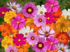 Shop for Cosmos Seeds by the Packet or Pound.Com offers Hundreds of Seed Varieties, Including the Finest and Freshest Cosmos Seeds Anywhere. Cosmos Flowers, Colorful Flowers, Wild Flowers, Beautiful Flowers, Cosmos Plant, Happy Flowers, Fleur Orange, Seeds For Sale, Birth Flowers