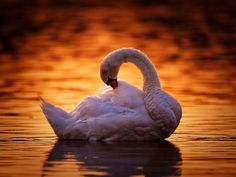 hattyú Our World, Swan, Beautiful Places, Birds, Drawings, Pictures, Animals, Photos, Animales