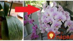 Pred pol rokom bola moja orchidea na vyhodenie: Stačila len 1 zmena a hneď nahodila puky – odvtedy mi kvitne nonstop! Quilling, Crown, Flowers, Plants, Garden, Bedspreads, Corona, Plant, Royal Icing Flowers