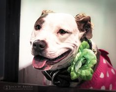 A beautiful pit bull at the Kiss Booth