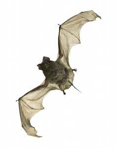 Tadarida aegyptiaca, Egyptian free-tailed bat.