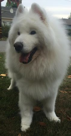 6/8/15 Meet Chaney, a Petfinder adoptable Samoyed Dog | San Rafael, CA | Meet Mr Chaney! A very sweet 11 yr old boy. He came to SFSR when his owner passed away. He is...