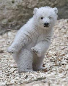 The Polar Bear dance .... with a wink....