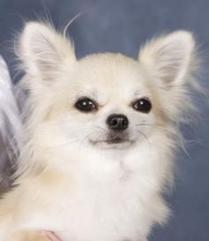 long-haired chihuahua betsey_otoole