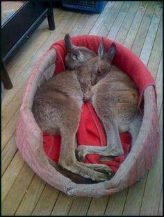 Cuddling baby kangaroos.