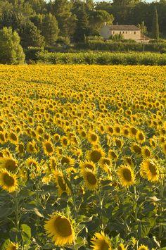 Sunflower field,Northern France