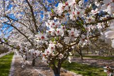 Taking care of almond trees - Euro Weekly News Spain News Article Fun Online Quizzes, Make Almond Milk, Winter Games, Harvest Time, Natural World, Botany, Autumn Leaves, Stuff To Do, Art Projects