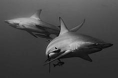 Sharks by Paul Cowell