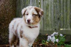 Australian Shepherd puppy with flowers