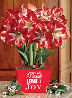 Amaryllis for Christmas. Nested reds in square Christmas themed tin.
