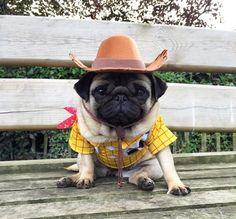 lil cowboy pug