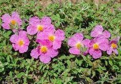 Το e - περιοδικό μας: Γνωρίστε το λάβδανο ( Labdanum gum of Crete ) Greek Flowers, Rock Rose, Drought Tolerant Landscape, Ways To Be Happier, Tree Forest, Flowering Trees, Beauty Secrets, Fascinator, Natural Remedies