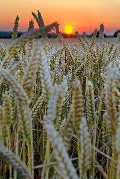 Barley Sunset, France photo via cassie.