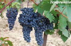 Tempranillo grapes: ripens earlier than other grapes, key to Rioja wines, on its own is quite neutral, which makes it blendable, takes on the taste of the barrel well. Wine Access, Central Valley California, Full Bodied Red Wine, Rioja Wine, Black Grapes, Port Wine, Wine Reviews, Wine Cheese, Looks Yummy