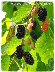 Mulberry Fruit, School Frame, Cherries, Planting, Seeds, Beautiful, Handmade Gifts, Nature, Fabric