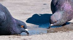 Pigeons drinking