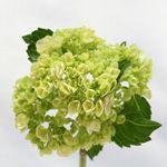 10 stems Green mini hydrangea • 45cm+ Stem Length • Each Bloom Sleeved