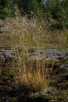 Metsälauha Forest Flowers, Wild Flowers, Stipa, Sea Plants, Helsinki, Finland, Natural Beauty, Flora, Scenery