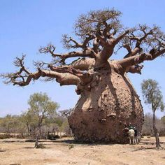 How does the baobab store water. The baobab is also known as the monkey-bread tree. This tree stores water in the thick. The growth pattern of the baobab a very thick stem and small leave prevent evaporation of water.