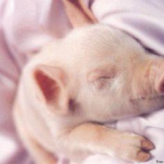 cute little piggy's