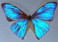 Morpho aega Família: Ninfalídeos Particularidades: Os machos dessa espécie apresentam na face superior das asas uma coloração azul metálica de brilho inigualável. Plantas Hospedeiras: Folhas de taquaras e bambus. Habitat: Sul e Sudeste Brasileiros.
