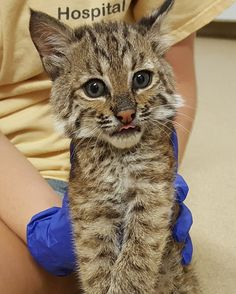 After a rough start, a baby bobcat who lost her brother, found a new friend to…