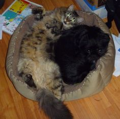 Bee a Maine Coon cross at 9 months old, with his foster brother, Barkley.  Bee was rescued from a feral cat colony at the age of 12 weeks by the Greater Victoria Animal Crusaders in 2011.